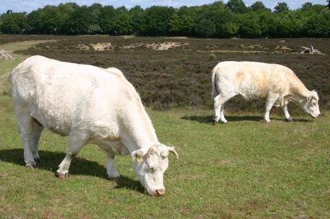 Koeien houden de Hoorneboegseheide grasvrij ongevaarlijk door hun rustige aard